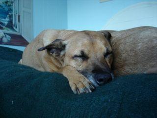 Fifi sleeps in Mendocino